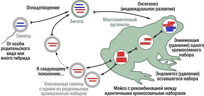 гибридов зелёных лягушек.