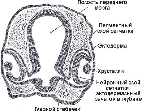 Глаз головоногих моллюсков