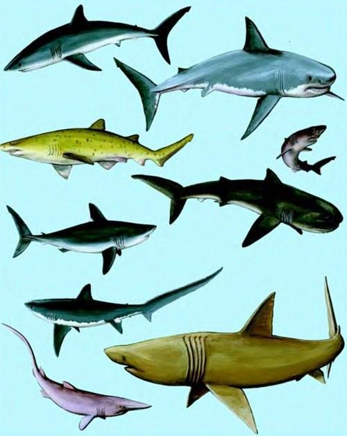 Виды и семейства акул - Vodolas ru